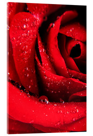 Akrylglastavla  Red rose with water drops