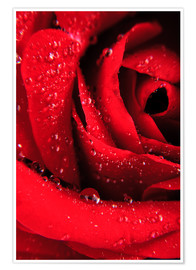 Premiumposter  Red rose with water drops