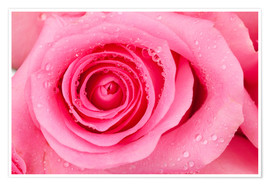 Poster  Pink rose blossom with dew