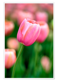 Premiumposter  Single pink tulip