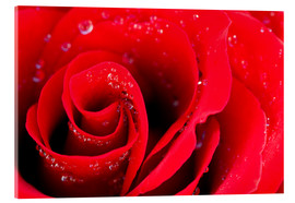Akrylglastavla  Red rose bloom with dew drops