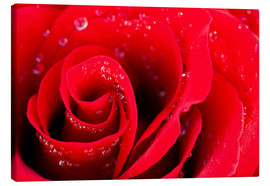 Canvastavla  Red rose bloom with dew drops