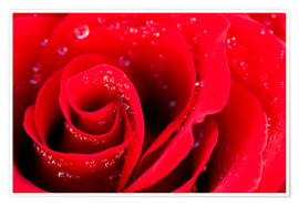 Poster  Red rose bloom with dew drops