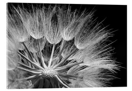 Akrylglastavla  Dandelion on black background