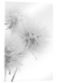Akrylglastavla  Fluffy dandelions on white background