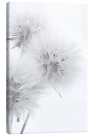 Canvastavla  Fluffy dandelions on white background