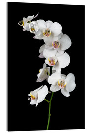 Akrylglastavla  White orchid on a black background