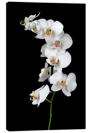 Canvastavla  White orchid on a black background
