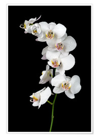 Premiumposter  White orchid on a black background