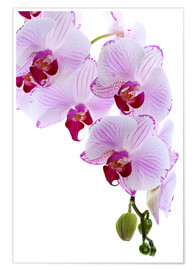 Premiumposter  Orchid branch