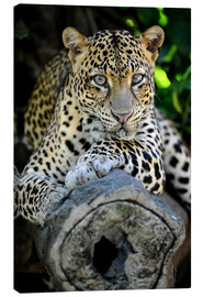Canvastavla  African Leopard