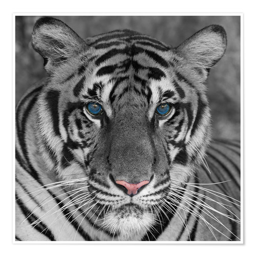 Premiumposter Tiger with color accents
