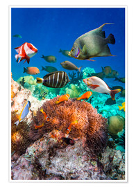 Premiumposter  Coral reef in the Maldives