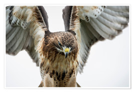 Premiumposter  Red-tailed hawk (Buteo jamaicensis), bird of prey, England, United Kingdom, Europe - Janette Hill