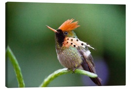 Canvastavla  Tufted coquette hummingbird - Bob Gibbons