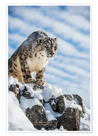 Premiumposter  Snow leopard (Panthera india) - Janette Hill