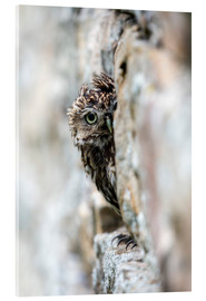 Akrylglastavla  Little owl perched in stone barn - Ann & Steve Toon