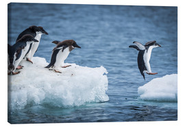 Canvastavla  Adelie penguins between two ice floes - Nick Dale