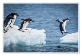 Premiumposter  Adelie penguins between two ice floes - Nick Dale