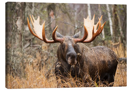 Canvastavla  Moose in the forest - Doug Lindstrand