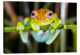 Canvastavla  Neotropical Spotted Treefrog, Ecuador - Morley Read