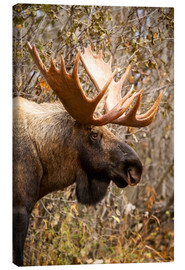 Canvastavla  Moose in profile - Doug Lindstrand