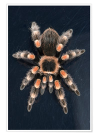 Premiumposter  Mexican Red Knee Tarantula - Janette Hill