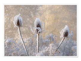 Premiumposter Hoar frost on a teasel in wintertime