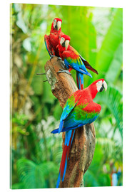 Akrylglastavla  Group of dark red macaws