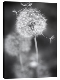 Canvastavla  Dandelion (black/white) - Julia Delgado