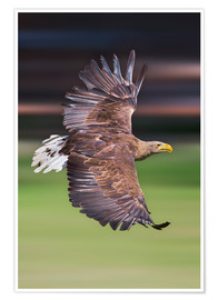 Premiumposter  Flying white-tailed eagle - Frank Fischbach