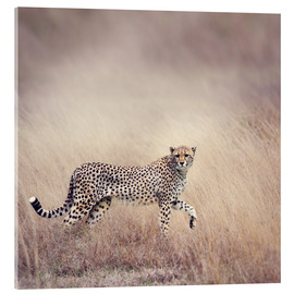 Akrylglastavla  Cheetah on the hunt
