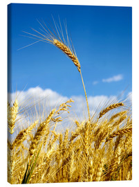 Canvastavla  wheat