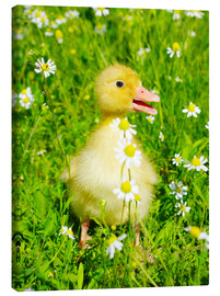 Canvastavla  Duckling on flowery meadow
