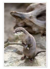 Premiumposter  Otter with walker