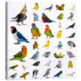 Canvastavla  Parrots and parakeets