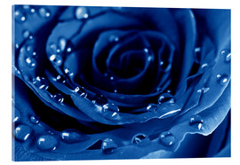 Akrylglastavla  Blue Roses with Water Drops