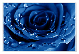 Premiumposter  Blue Roses with Water Drops