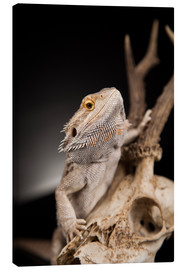Canvastavla  Bearded dragon climbs