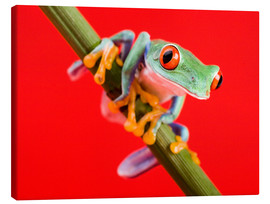 Canvastavla  Tree frog on red