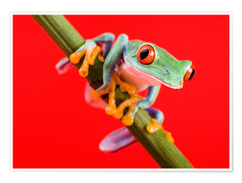 Premiumposter  Tree frog on red