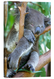 Canvastavla  Sleeping koala