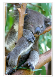 Premiumposter  Sleeping koala