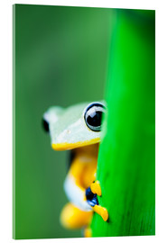 Akrylglastavla  yellow tree frog
