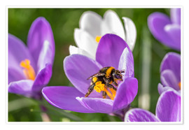 Premiumposter  Spring flower crocus and bumble-bee - Remco Gielen