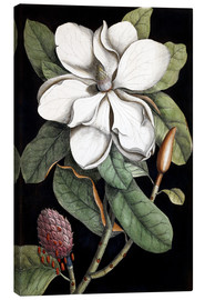 Canvastavla  Magnolia - Mark Catesby