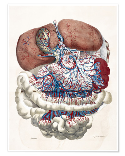Poster Internal organs, Liver, Stomach, Intestines
