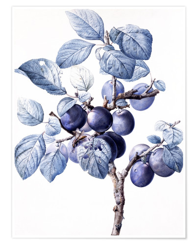 Premiumposter Branch of a plum with fruits