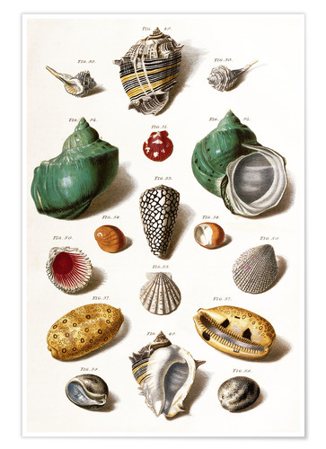 Premiumposter Various seashells