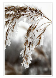 Premiumposter  Cereal stalk covered with frost